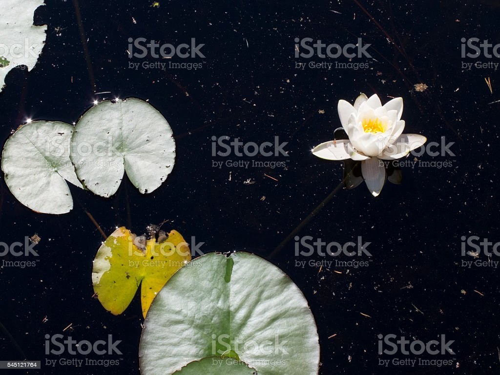 Water lily in Finland stock photo
