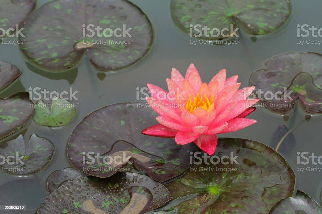 Water Lily in nature background. stock photo