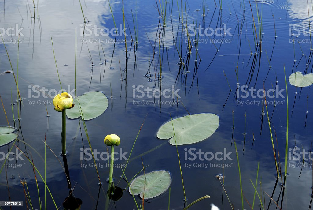 Water Lily in Pond royalty-free stock photo