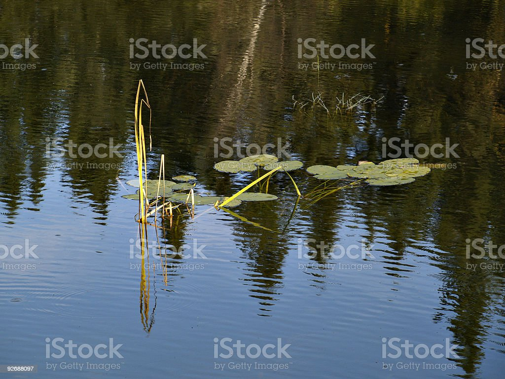 Water Lily in River stock photo