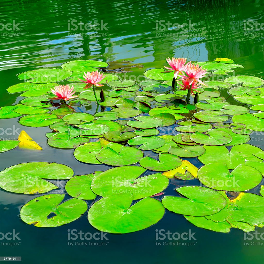 Water lily in small lake stock photo
