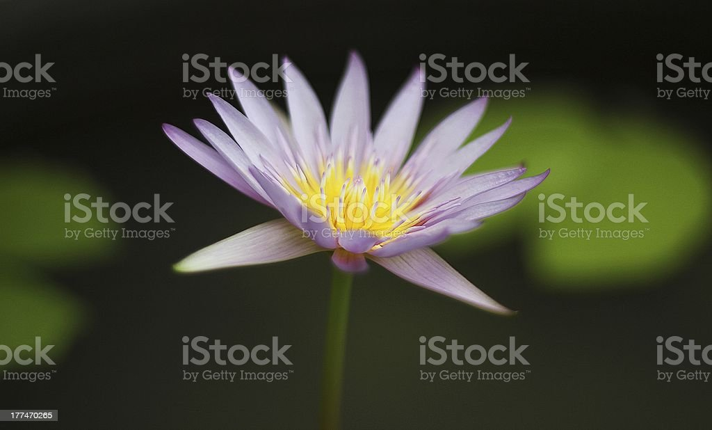 water lily in Thai lotus pond royalty-free stock photo