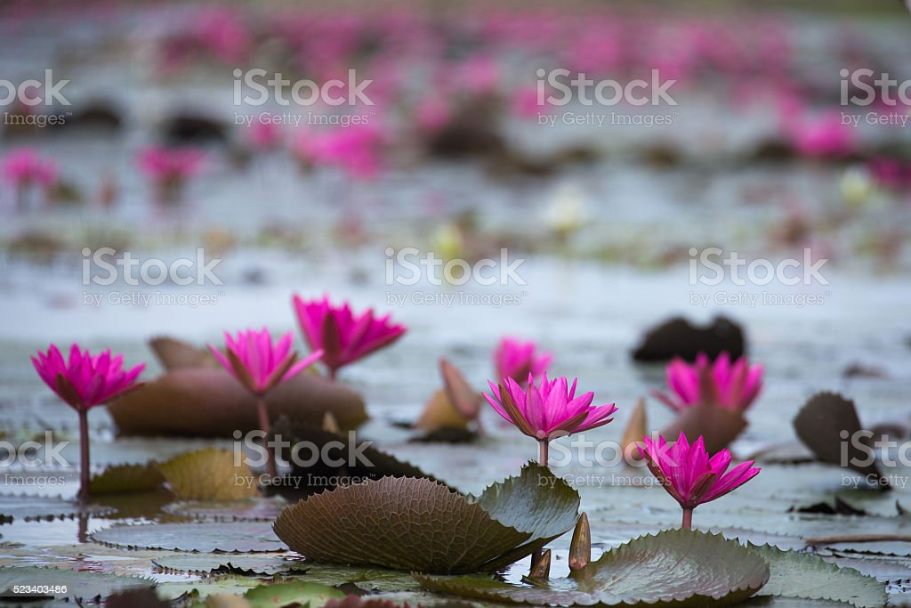 Water lily in the garden. stock photo