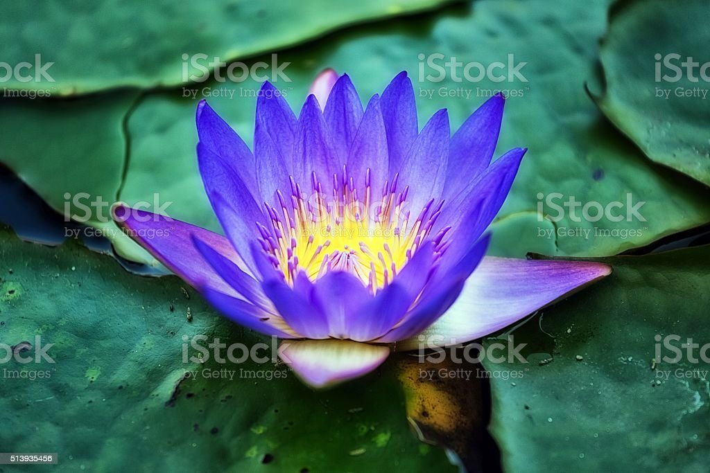 Water lily in the lake stock photo