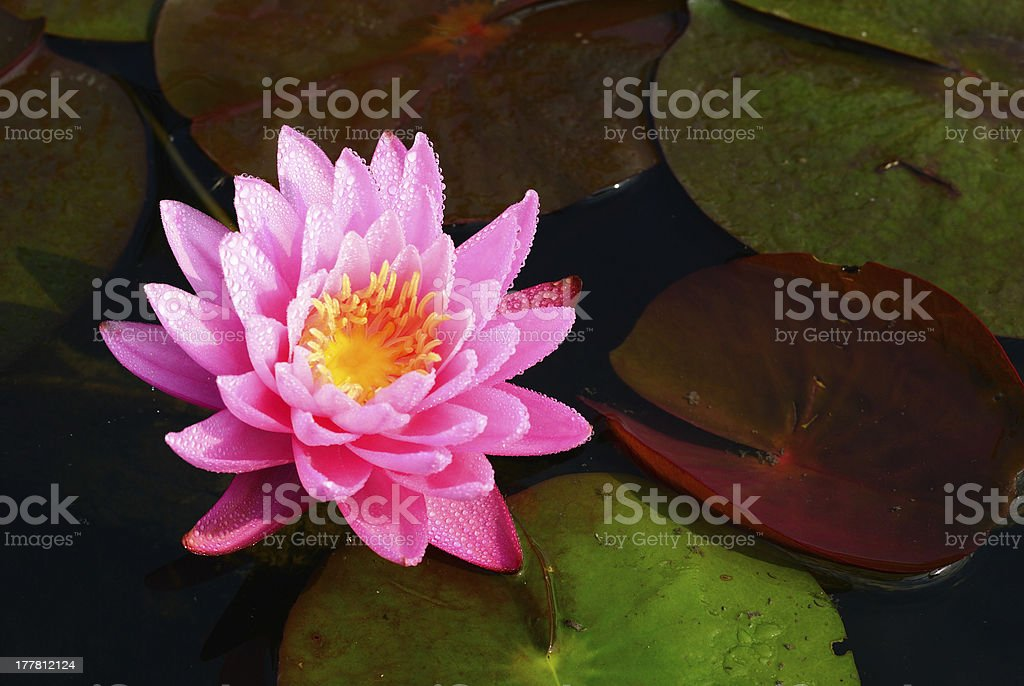 water lily in the morning royalty-free stock photo
