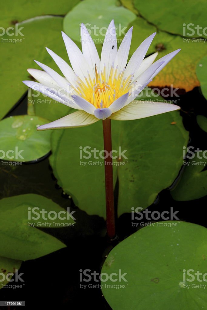 water lily in the pond royalty-free stock photo