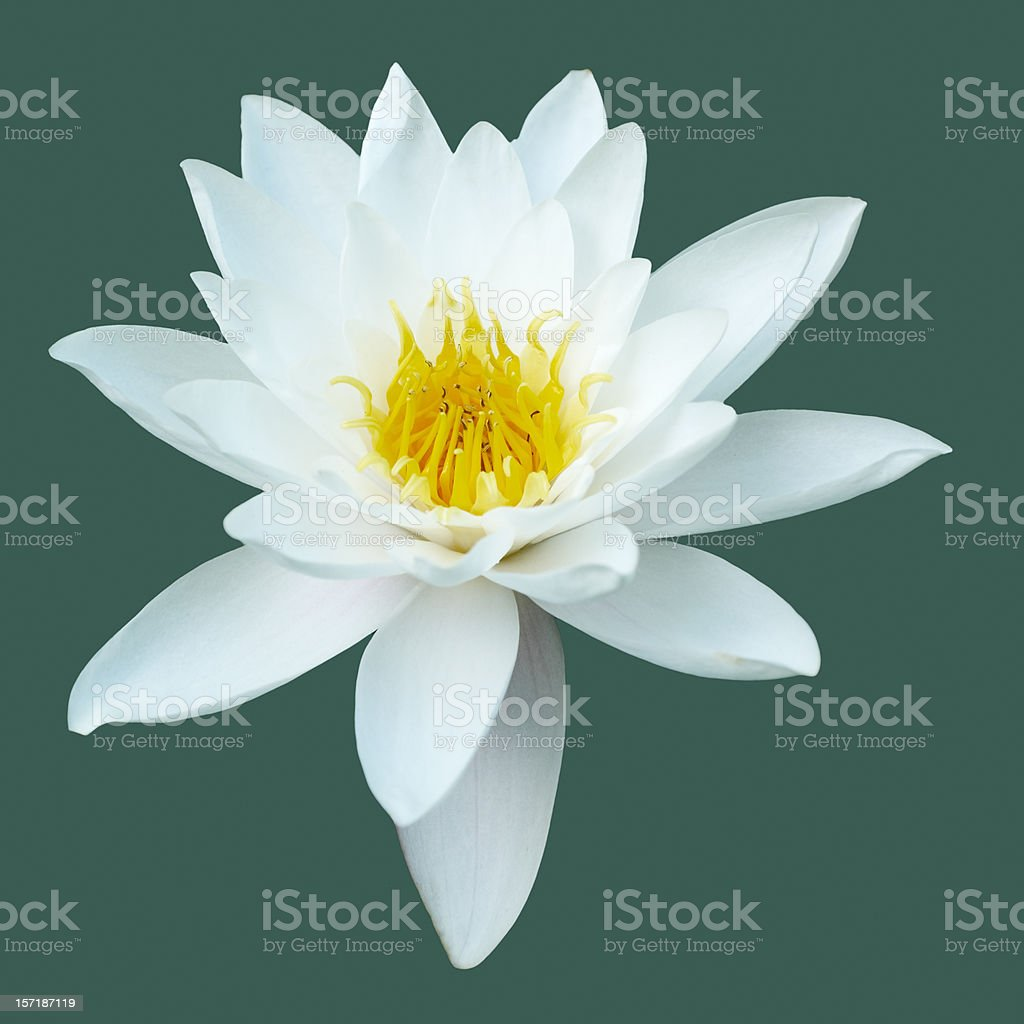 Water Lily Isolated royalty-free stock photo