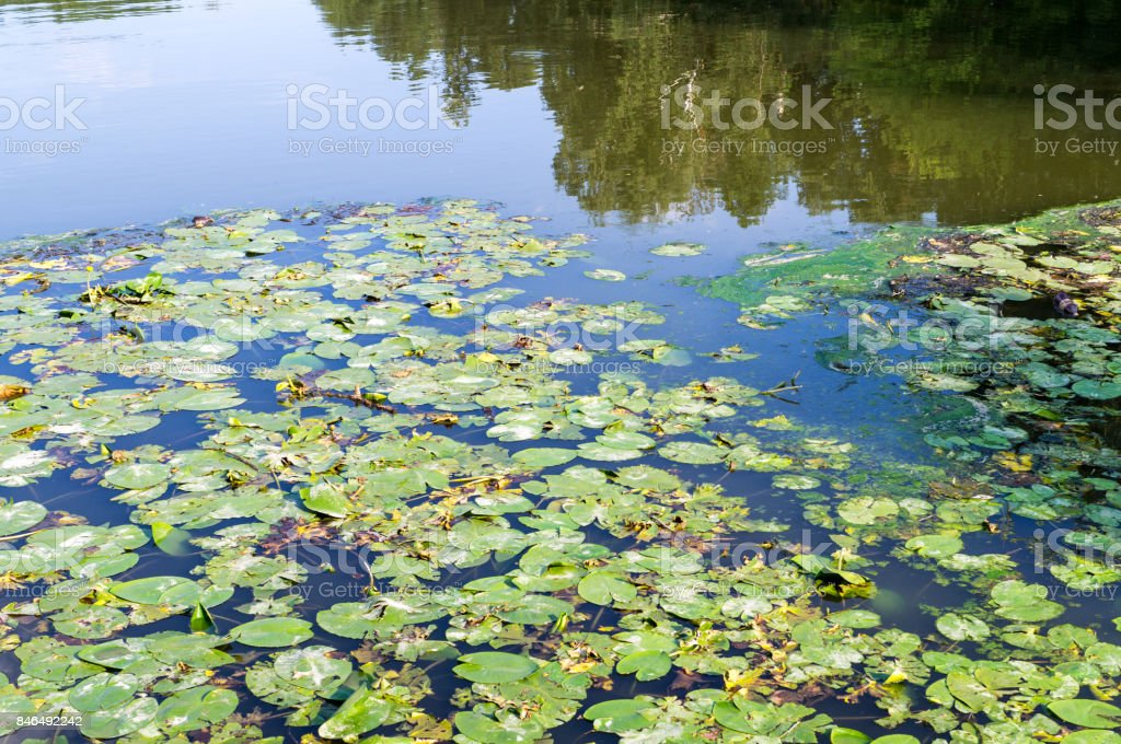 water lily leaves in forest pond. background, nature. stock photo
