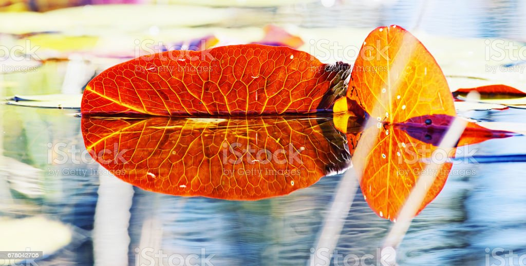 Water lily leaves lit by the sun and reflected in the pond, Okavango delta, Botswana stock photo