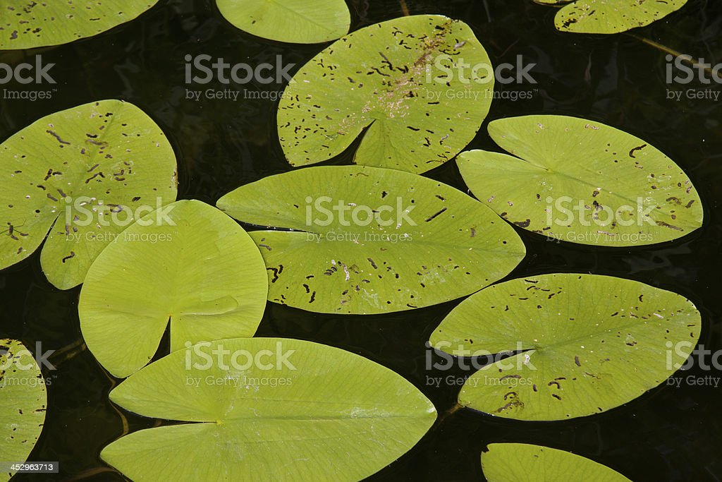 water lily leaves royalty-free stock photo