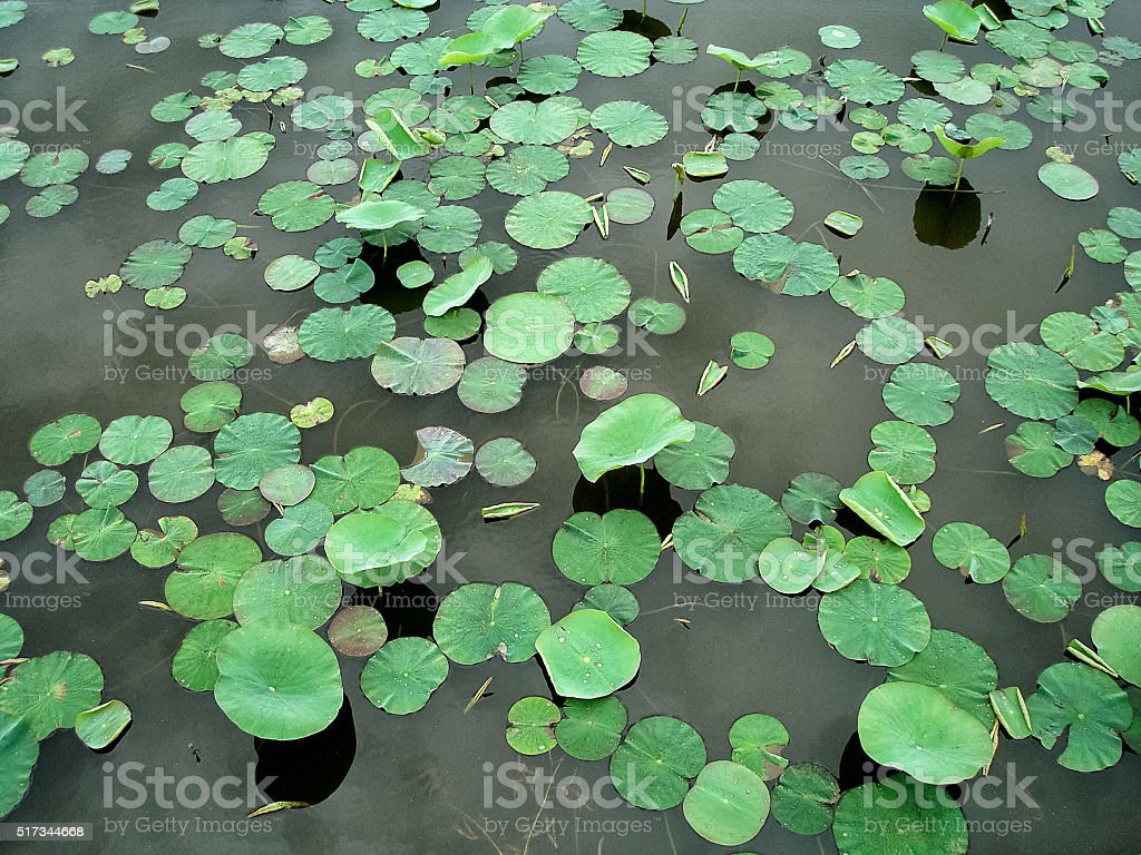 Water lily leaves stock photo