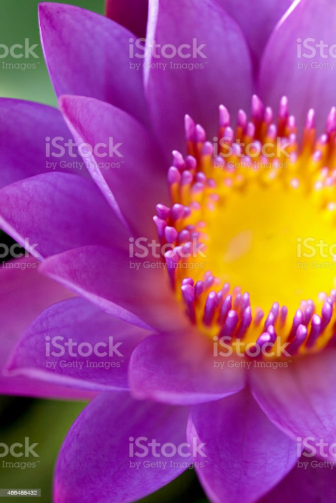 Water lily lotus  for conceptual purpose stock photo
