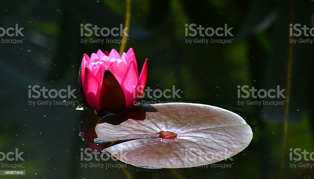 water lily opening stock photo