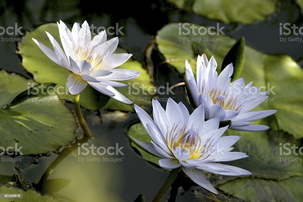 Water Lily Pads & Flowers royalty-free stock photo