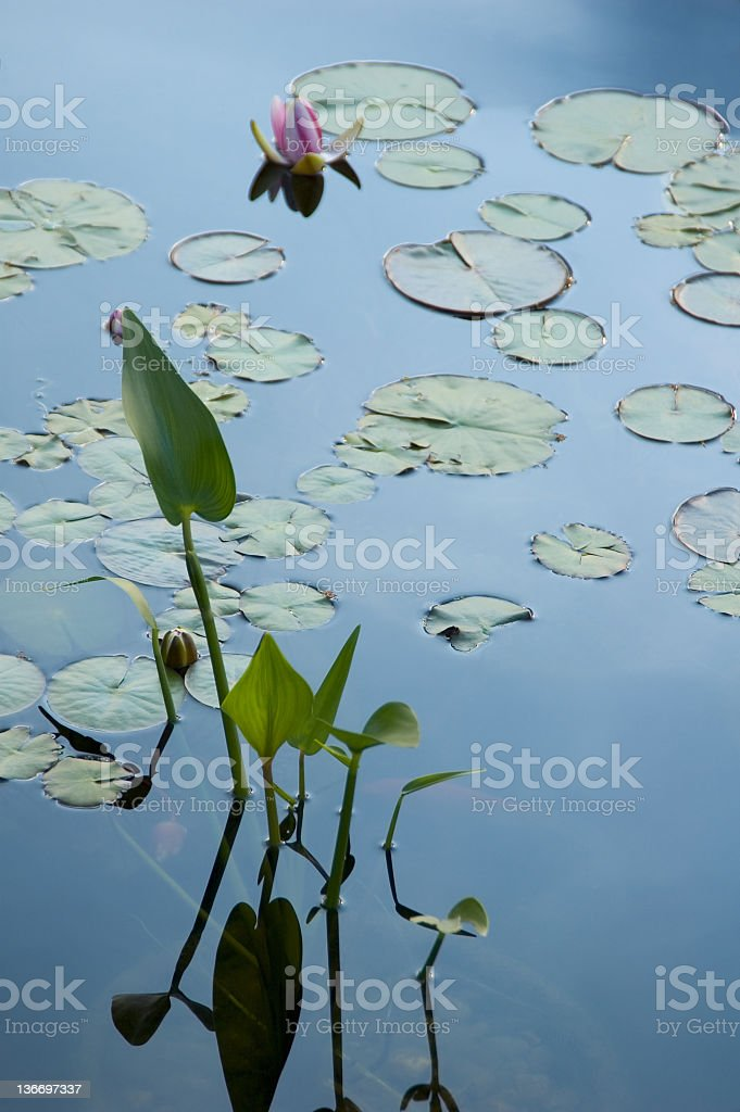 Water Lily Pads with Blooming Flower royalty-free stock photo