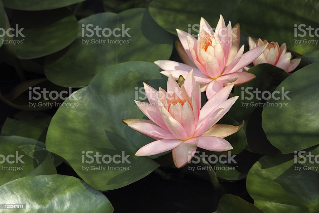Water lily royalty-free stock photo