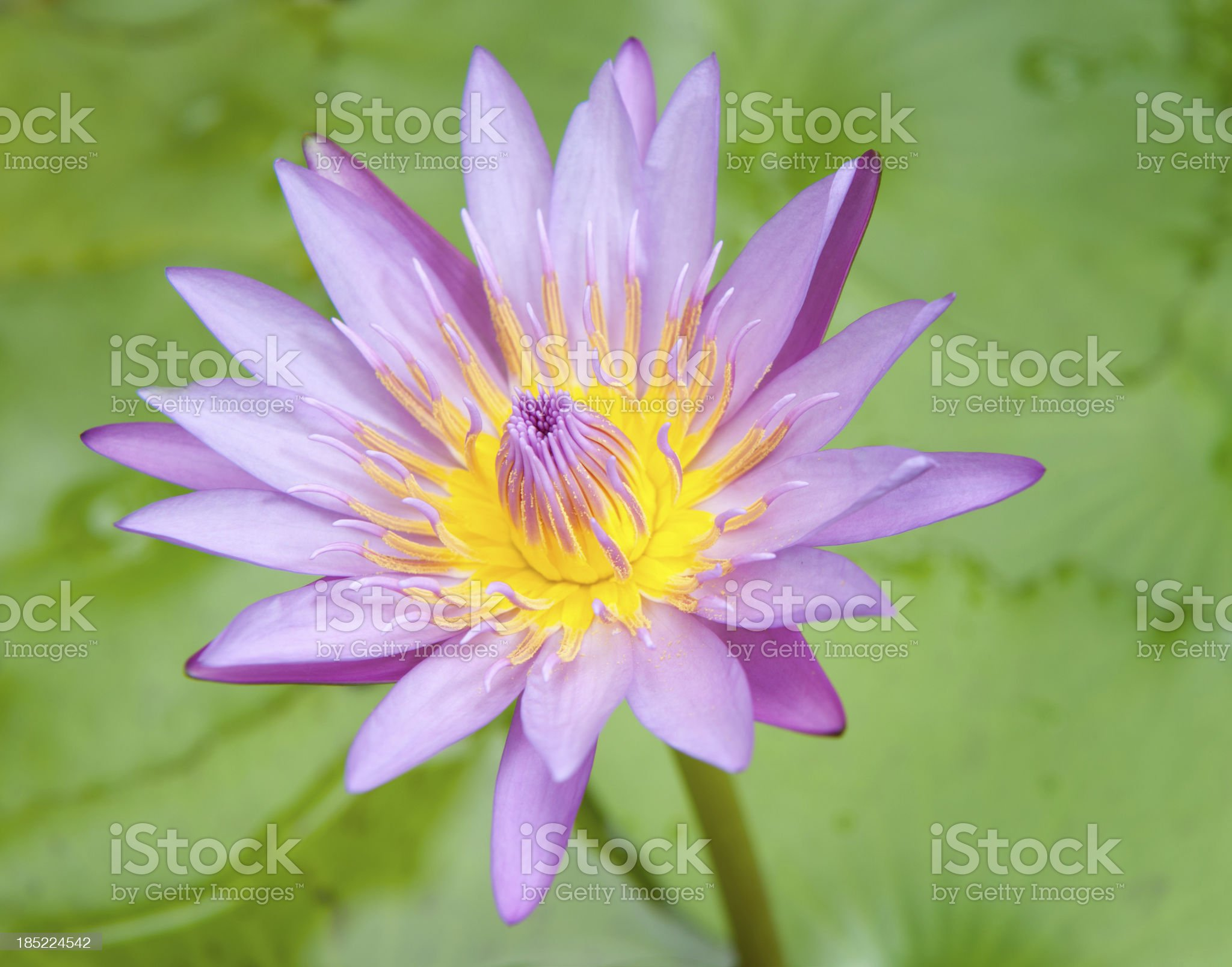 Water Lily (XXXL) royalty-free stock photo