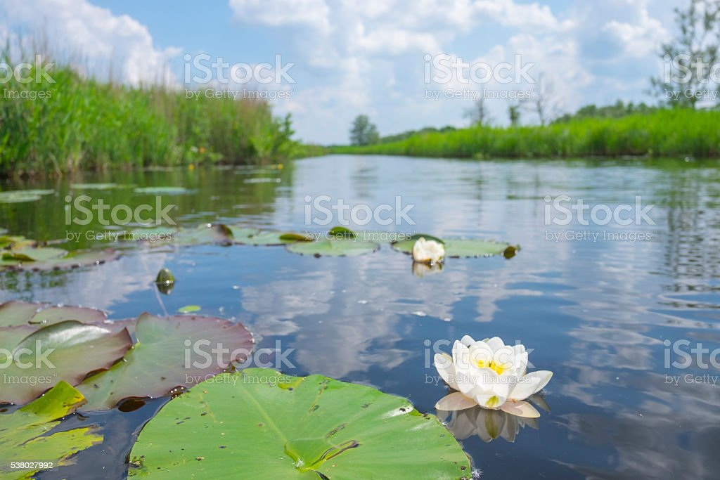 Water lily plants in a nature reserve in spring stock photo