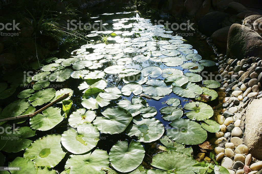 Water Lily Pond royalty-free stock photo
