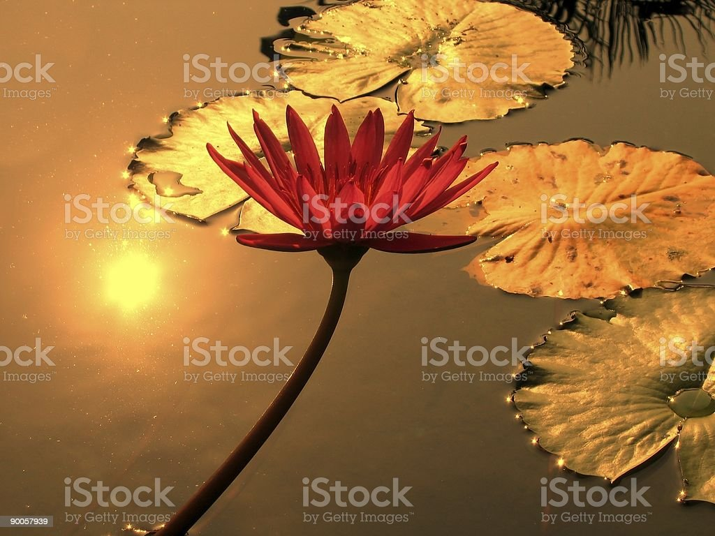 Water lily pond with sunlight reflections royalty-free stock photo