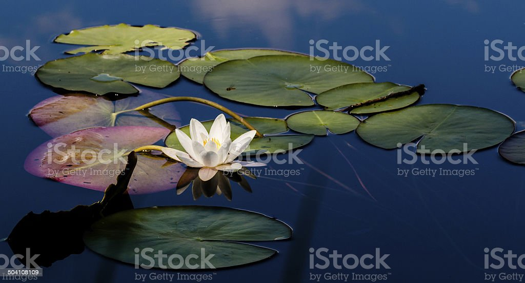 Water lily scenics stock photo