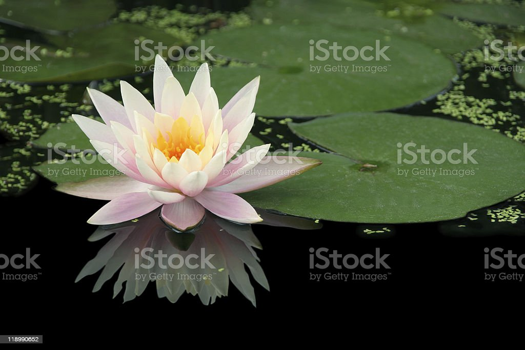 Water lily sitting on water in pond stock photo