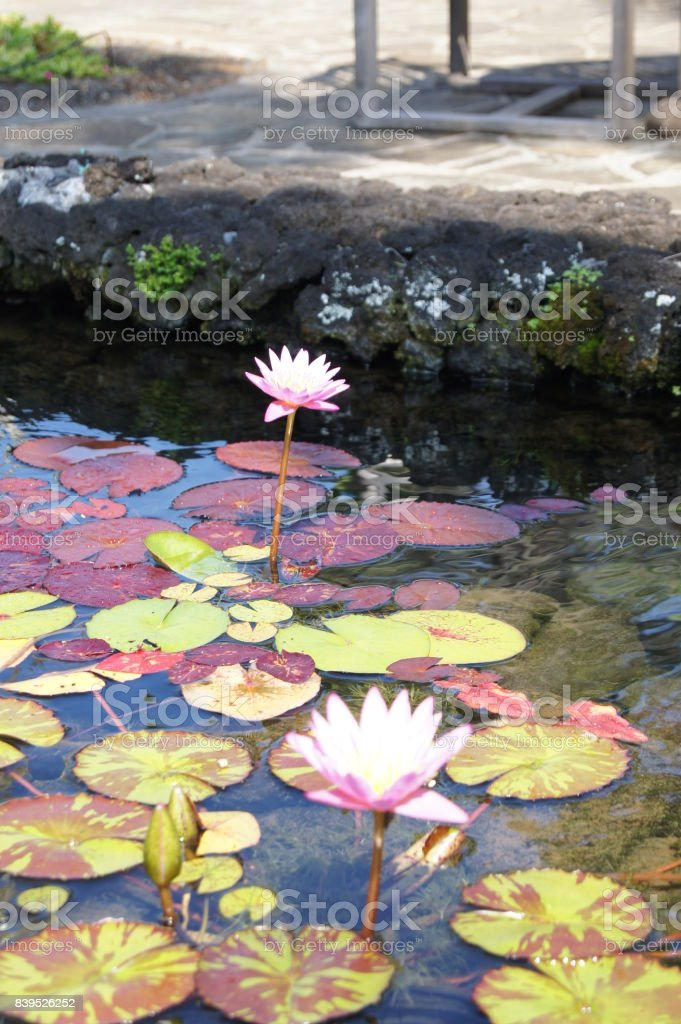 Water Lily with Multi-Colored Lily Pads 2 stock photo