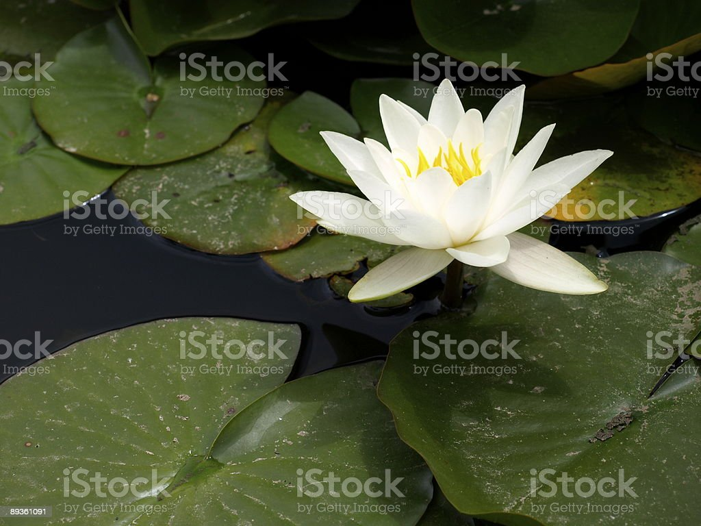 Water lily,Gorey,Jersey stock photo