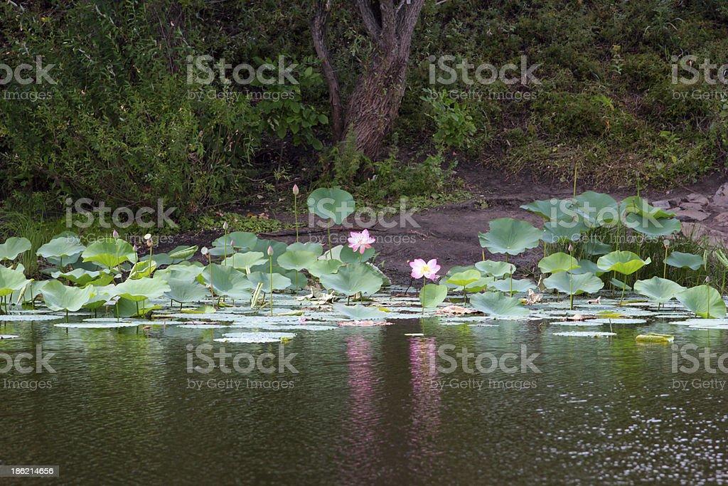 water lotus royalty-free stock photo