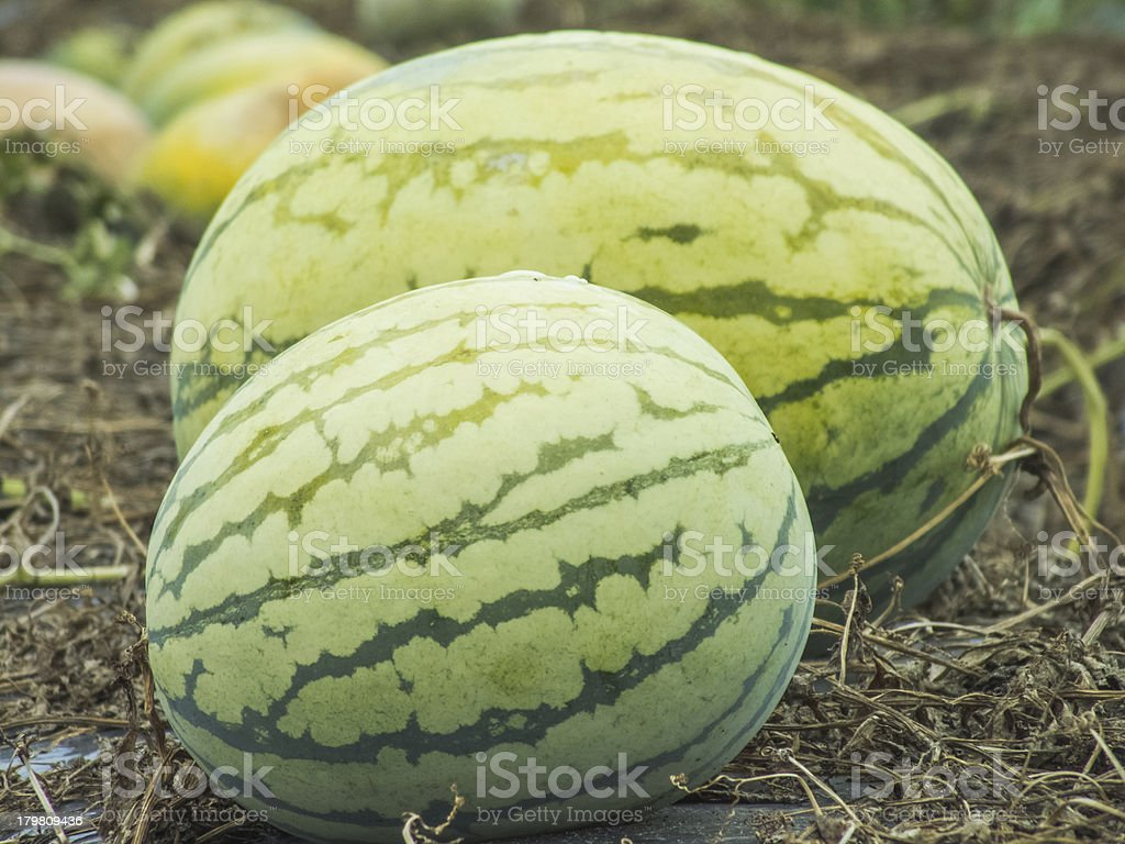 water melon on field royalty-free stock photo