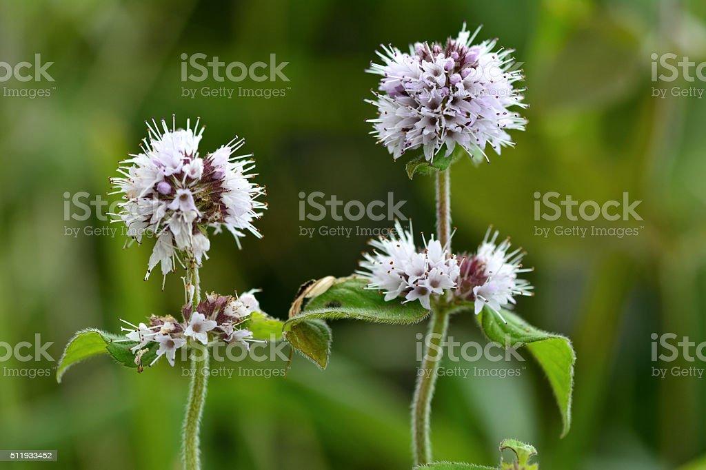 Water mint (Mentha aquatica) stock photo