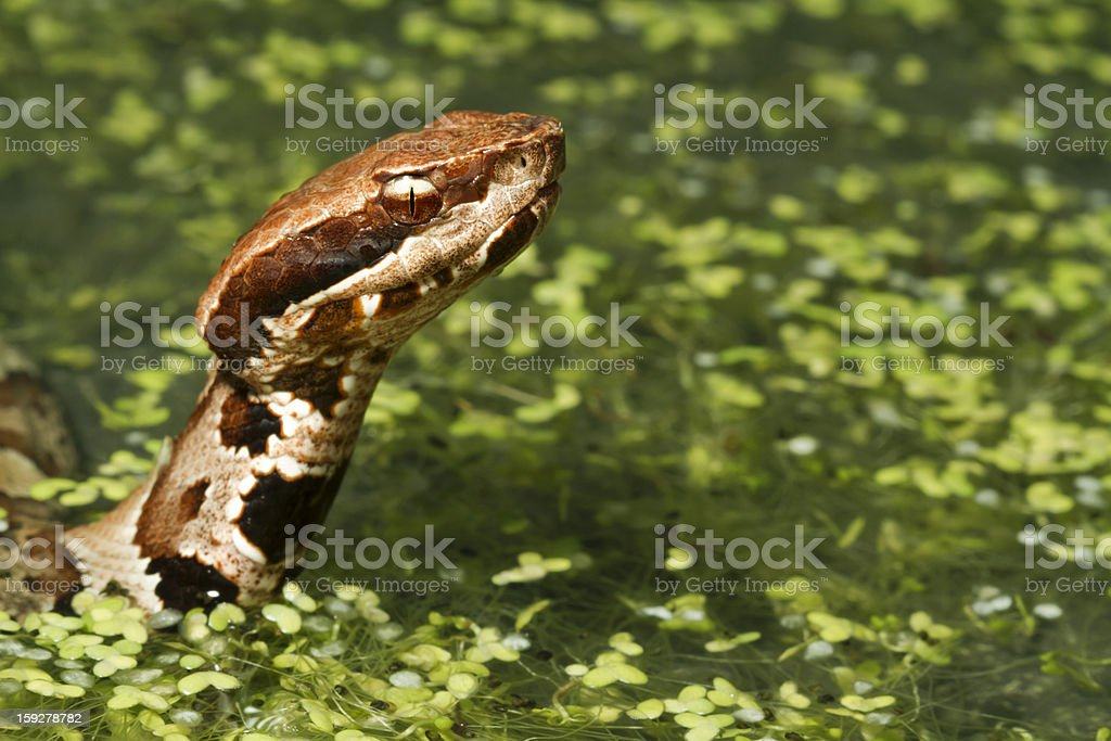 Water Moccasin - Cottonmouth Snake Swimming stock photo