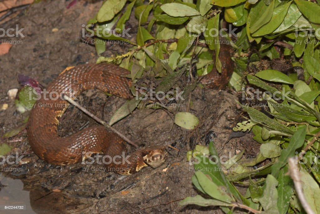 Water Moccasin snake at lake edge stock photo