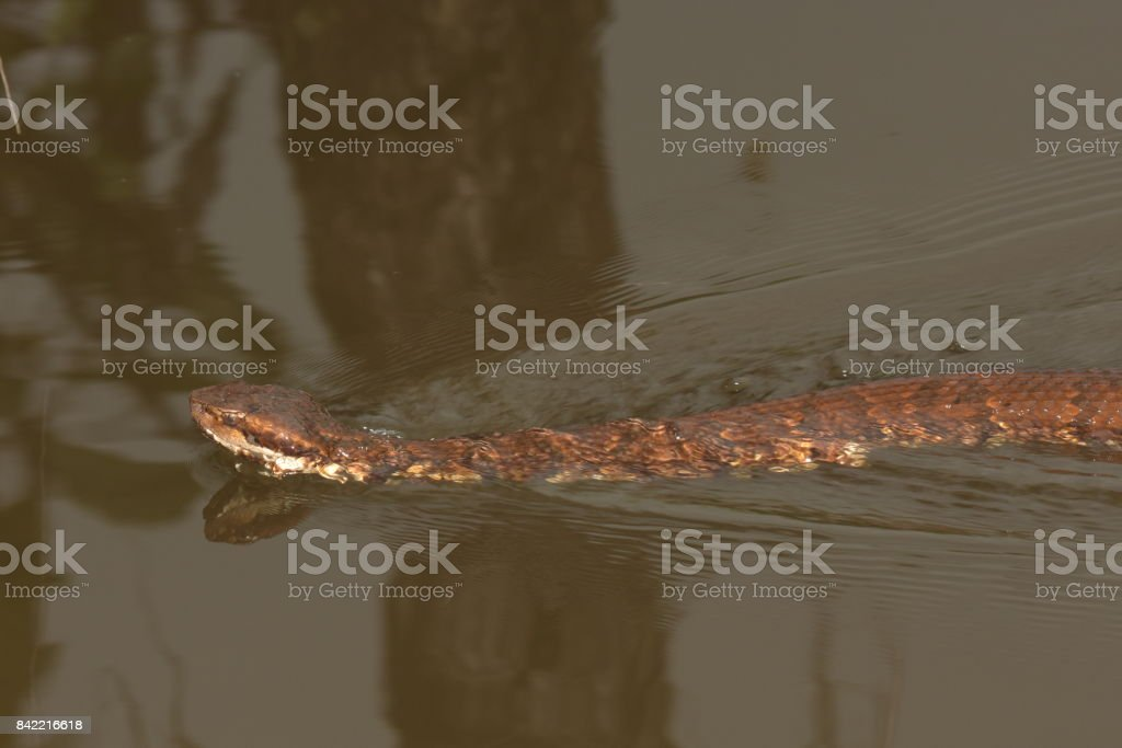 Water Moccasin snake swimming stock photo