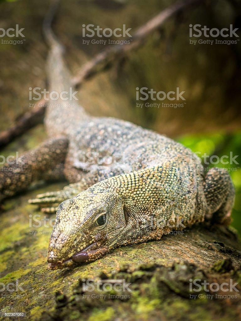 Water Monitor Lizard (Varanus) Hunting Animal Behavior Reptile Eating stock photo