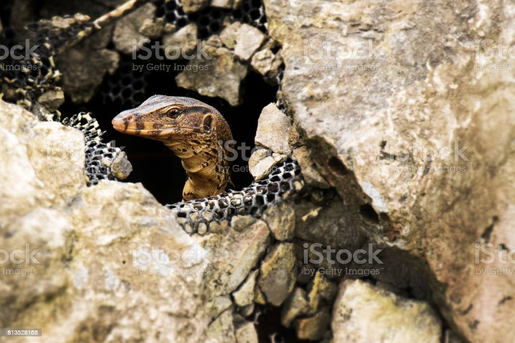Water monitor lizard in the stone, Varanus salvator, Thailand, Asia stock photo