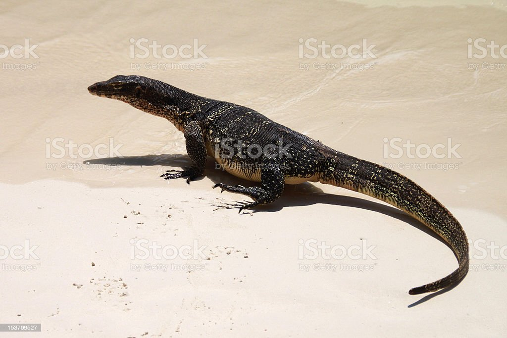 Water monitor lizard. royalty-free stock photo