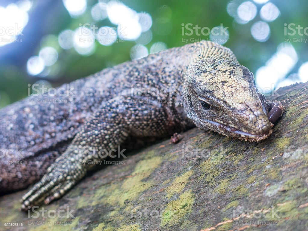 This wild water Monitor lizard is on a branch within the rainforest...