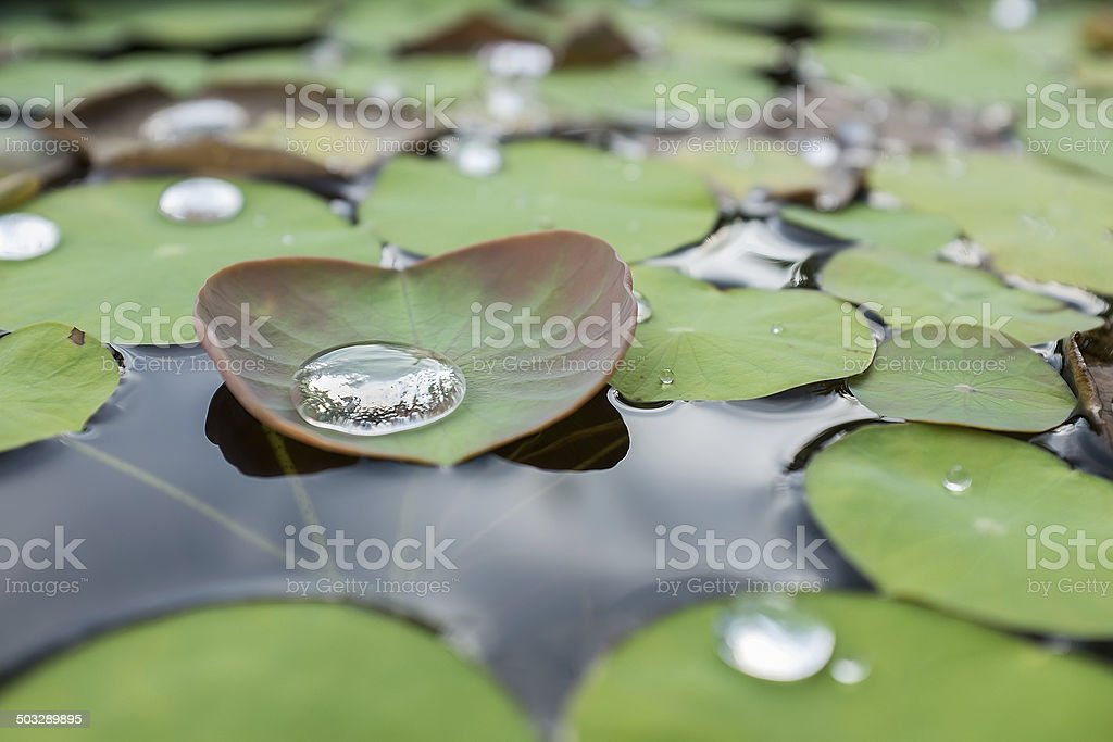 Water on a lotus leaf stock photo