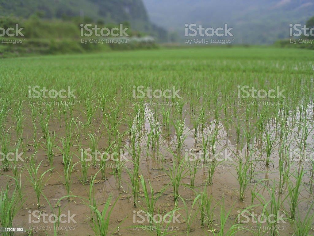 Water Paddy Farmland royalty-free stock photo