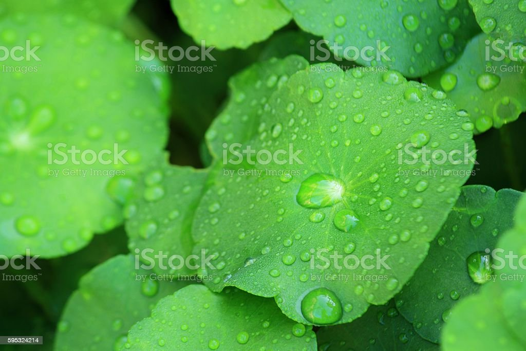 Water Pennywort stock photo