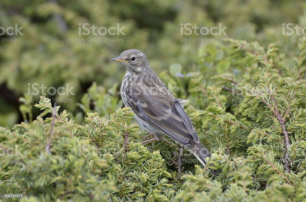 Water pippit resting on a tree (Anthus spinoletta) stock photo