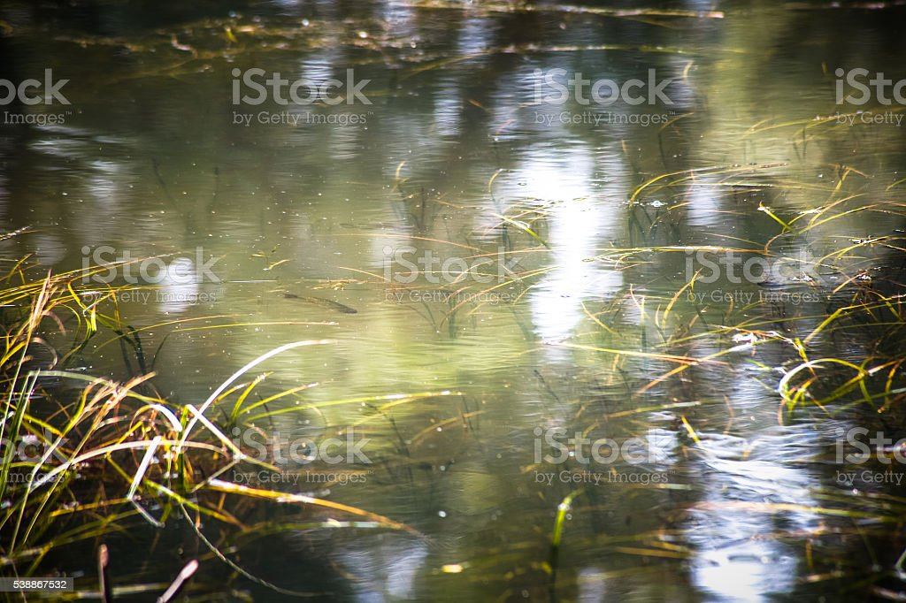 Water plants and a fish in a greenish murky pond stock photo