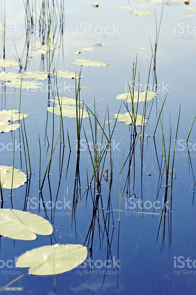 Water plants reflected in the water stock photo