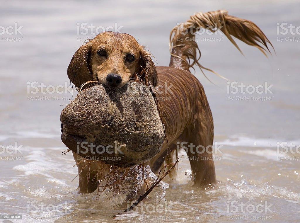 Water play dog royalty-free stock photo