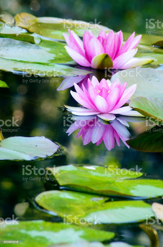 Water reflections of two pink water lillies floating in pond. stock photo