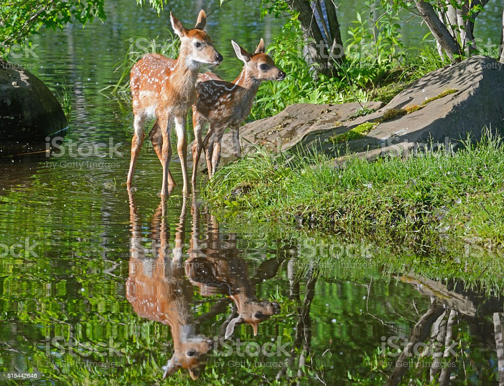 Water reflections of two white tailed deer fawns. stock photo