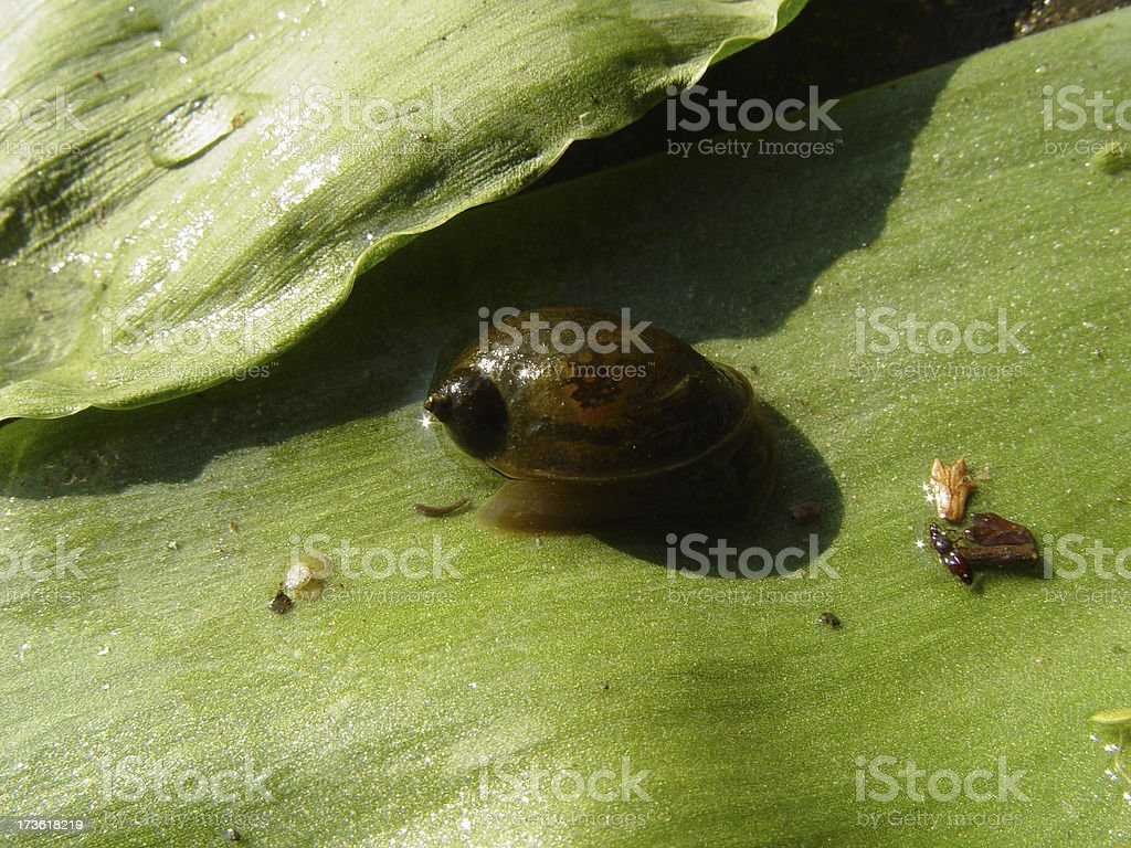 water snail 2 royalty-free stock photo