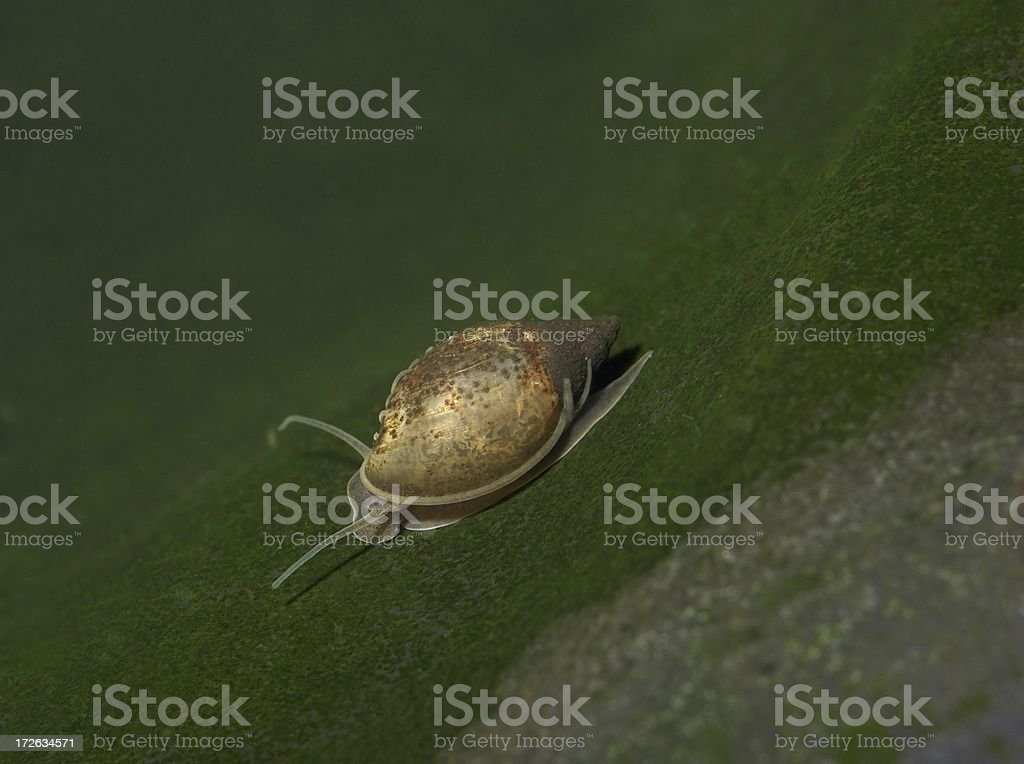 Water Snail royalty-free stock photo