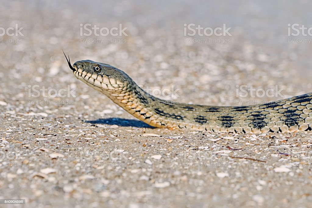 Water snake on the Bay stock photo